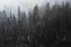 Pine forest in snowstorm, Mount Sneffels Range, Colorado. USA royalty free stock photo
