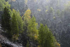 Pine forest in snowstorm, Mount Sneffels Range, Colorado Royalty Free Stock Photos