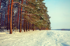 Pine forest and snowy field Stock Photography