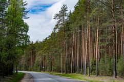 Pine forest in spring. Asphalt road royalty free stock image