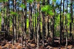 Pine forest in the spring. For the background or wallpaper Stock Image