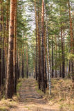 Pine forest spring path Royalty Free Stock Images