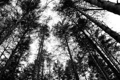 Pine forest at the spring Royalty Free Stock Photography