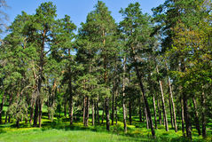 pine forest in the spring Royalty Free Stock Images