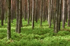 Pine forest. Spring time. Pine forest (Pinus sylvestris). Spring time royalty free stock images
