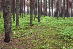 Pine forest. Spring time. Royalty Free Stock Photo