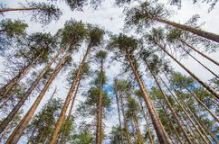 Pine forest in spring stock photos