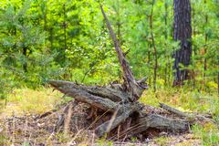 Magic stump in the Belarusian pine forest. stock photography