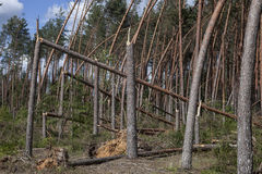 Pine forest after storm stock photos