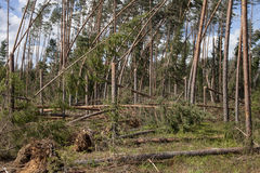Pine forest after storm stock photography