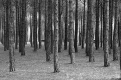 Pine forest. Straight trunks of pine trees create a geometric composition Royalty Free Stock Photos