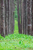 pine forest, Suan son bor Kaew at Chiang Mai THAILAND, Unseen Th Stock Photography