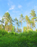 Pine forest. In the summer Stock Photo