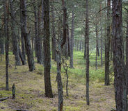 Pine forest in summer Stock Photos