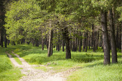 Pine forest in summer day Royalty Free Stock Image