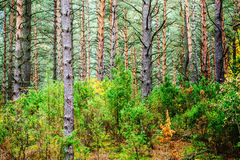Pine forest. Summer pine forest with old trees stock images