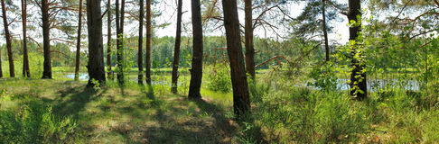 pine forest in the summer Stock Images