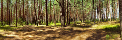 Pine forest in the summer. Stock Photo