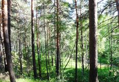Pine forest in summer 33 stock photography