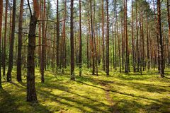 Pine forest in summer sunny day Royalty Free Stock Images
