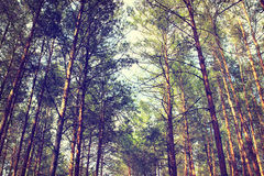 Pine forest in summer Royalty Free Stock Photos