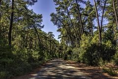Pine forest in summer under clear blue skies. In Marmaris area, Mugla, Turkey royalty free stock images