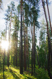 Pine forest in the sun. Pine forest in the morning sun Royalty Free Stock Photography