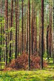 Pine forest sun beams shined Stock Photos