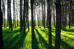 Pine forest in sun beams Stock Photography