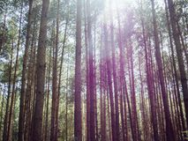 Beautiful pine forest. Pine forest with sun light royalty free stock photo