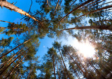 Pine forest sun Stock Image