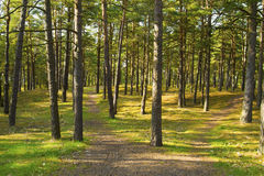 Pine forest with sun shining through the trees Stock Photography