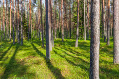 Pine forest with the sun shining through the trees Royalty Free Stock Photography