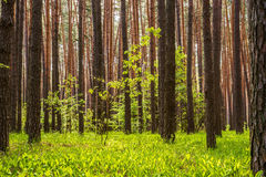 Pine forest with the sun shining through the trees Stock Photos