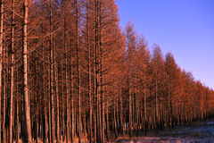 Pine forest in the sun Stock Image