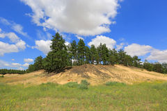 Pine forest on sund hill Stock Photography