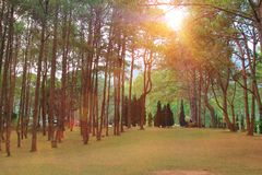 Pine forest with sunlight in morning time,sunrise in forest with autumn stock photography