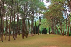 Pine forest with sunlight in morning time,sunrise in forest with autumn royalty free stock photography