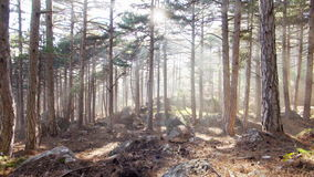 Pine forest in the sunlight. Pine forest in the mountain in the sunlight stock video