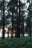 Pine forest with sunlight and shadows. Pine forest with sunlight and shadows at sunset stock images