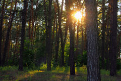Pine forest with sunlight and shadows at sunset Royalty Free Stock Photo