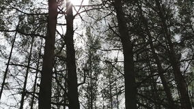 Pine forest with sunlight. Tree tops where the rays of the sun shining through the spruce forest stock video footage
