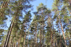 Pine forest. Sunny day Stock Photography
