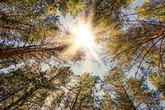 Pine forest at sunny day Stock Photos