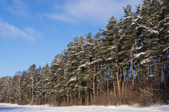 The pine forest in a sunny day Royalty Free Stock Photo