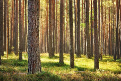 Pine forest. On sunny day in Estonia Stock Image