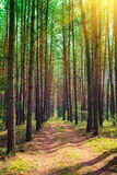 Pine forest in sunny day Stock Photo