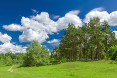 Pine forest. In a sunny day. Forest Glade Royalty Free Stock Photo