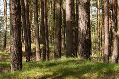 Pine forest. On sunny day in Poland Royalty Free Stock Images