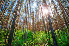 Pine forest on sunny day. Pine forest. Sunlight through the trees. Trunks of trees stretch towards the sky. Evergreen Forest Stock Image